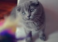 折耳猫图片大全 超萌猫咪折耳猫