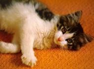 小猫图片大全 慵懒的小猫咪