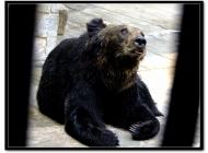 动物园里的亚洲黑熊图片