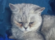 英国短毛猫图片大全 超萌可爱的英国短毛猫图片