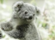 考拉图片大全 澳大利亚树袋熊考拉