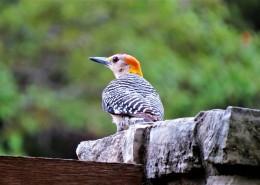 森林医生之啄木鸟图片(12张)