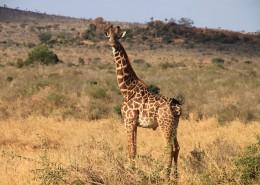 世界最高动物长颈鹿图片(11张)