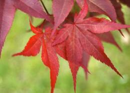 火红的枫叶图片(14张)