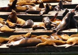 一群慵懒的海狮图片(13张)