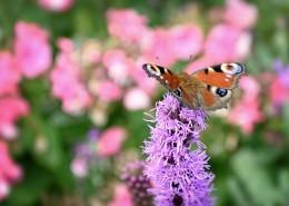 花丛中的孔雀蝴蝶图片(11张)