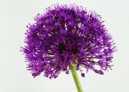紫色的观赏葱图片(10张)
