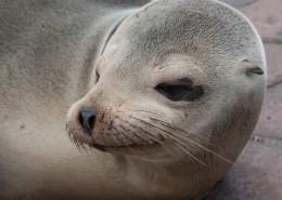 呆萌可爱的海狮图片(15张)