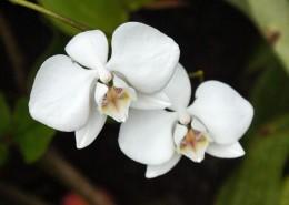 白色的蝴蝶兰图片(16张)