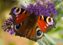 漂亮的孔雀蝴蝶图片(12张)