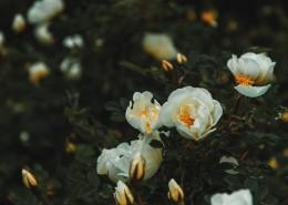 白色的花朵图片(10张)
