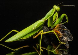 绿色的螳螂图片(13张)