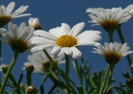 一大片雏菊图片(13张)
