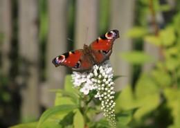 漂亮的孔雀蝴蝶图片(13张)
