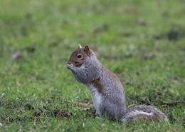 活泼可爱的灰色小松鼠图片(15张)