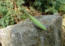 绿色霸道的螳螂图片(13张)