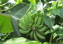 树上未采摘的香蕉图片(14张)