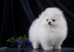 白色的斯皮茨犬图片(9张)