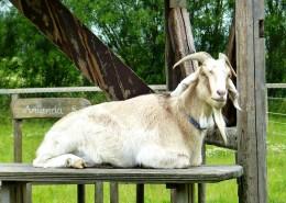 温顺的山羊图片(15张)