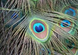 光鲜的孔雀羽毛图片(11张)