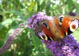 花丛中的孔雀蝴蝶图片(12张)