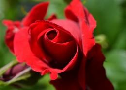 鲜艳的红色玫瑰图片(13张)