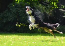 活泼可爱的牧羊犬图片(12张)