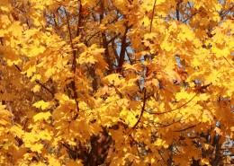 秋天金黄色的枫叶图片(13张)