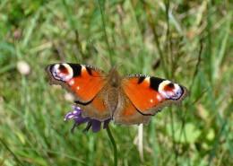 草丛中的孔雀蝴蝶图片(13张)