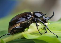 力大惊人的犀牛甲虫图片(16张)