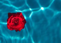泳池中的玫瑰图片(11张)