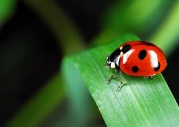 绿叶上的瓢虫图片(13张)