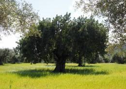 茁壮的橄榄树图片(14张)