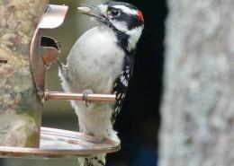 森林医生之啄木鸟图片(15张)