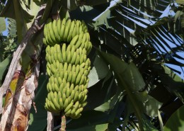 树上未采摘的香蕉图片(15张)