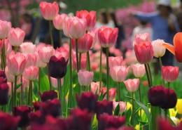 美丽的郁金香花丛图片(11张)