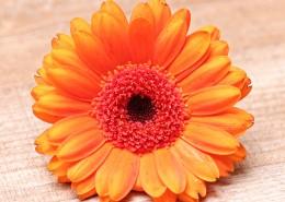 橙黄色的非洲菊图片(10张)