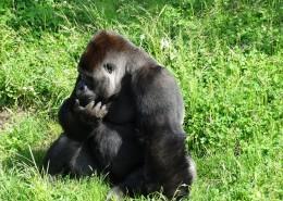 体型庞大的大猩猩图片(13张)
