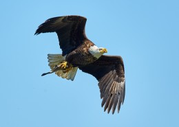展翅飞翔的老鹰图片(11张)