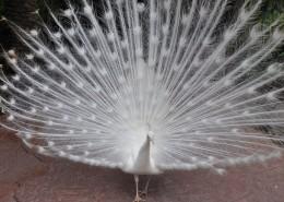 美丽端庄的白孔雀图片(11张)