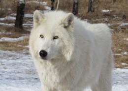白色的野狼图片(12张)