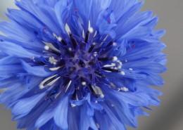 蓝色的矢车菊图片(12张)