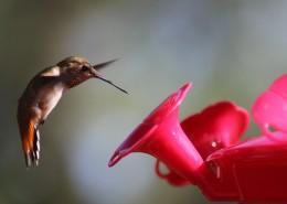 玲珑小巧的蜂鸟图片(13张)