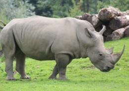 体型庞大的犀牛图片(15张)
