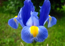 蓝色的鸢尾图片(10张)