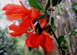 火红的石榴花图片(12张)