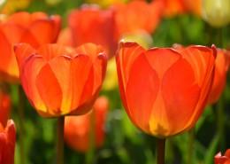 热烈开放的火红郁金香图片(11张)