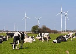 牧场里的奶牛图片(13张)