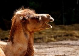 骆驼头部图片(14张)