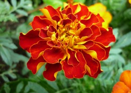颜色鲜艳的万寿菊图片(13张)